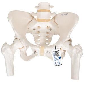 大腿骨解剖模型