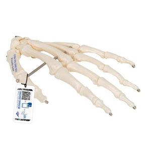 手解剖模型