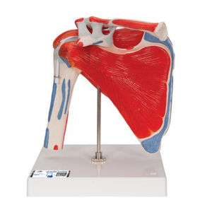 肩解剖模型
