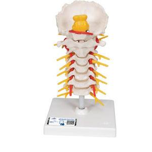 脊椎頸部解剖模型