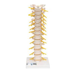 胸椎解剖模型