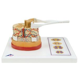 脊髄解剖模型