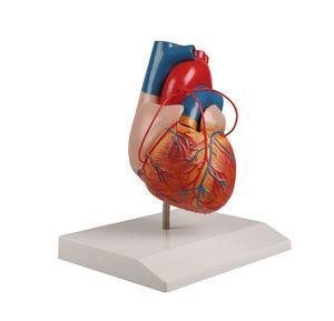 心臓解剖模型