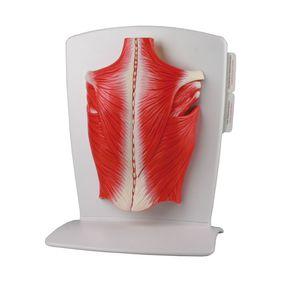 筋肉解剖模型