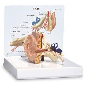 外耳道解剖模型