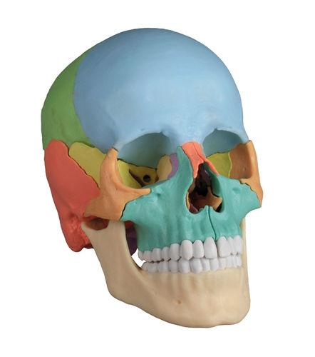 頭蓋骨解剖模型
