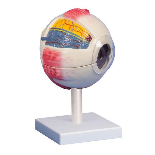 眼解剖模型