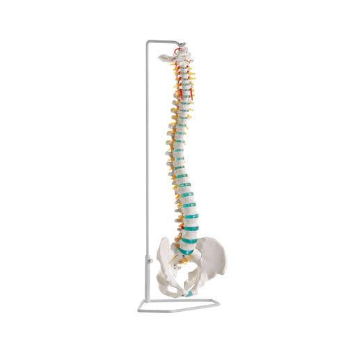 脊柱解剖模型