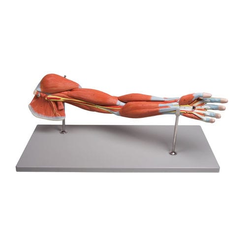 腕解剖模型