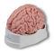 脳解剖模型
