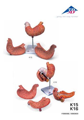 Product Manual - Human Stomach Model - 3B Smart Anatomy - K15