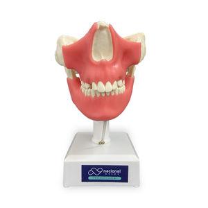 modelo de mandíbula
