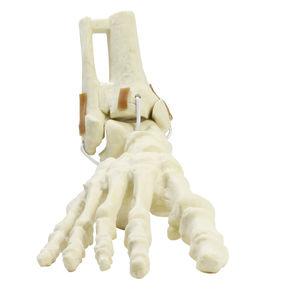 modelo de tornozelo