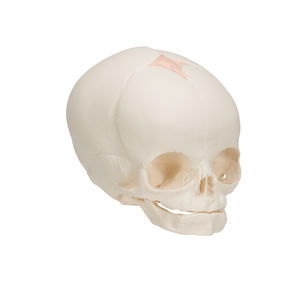 modelo de crânio