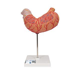 modelo de estômago