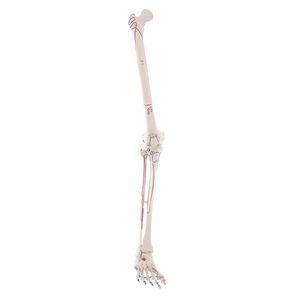 modelo de perna