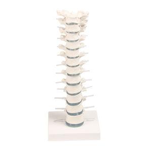 modelo anatômico vértebra torácica