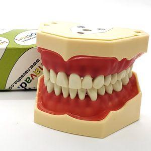 modelo anatômico de maxilar