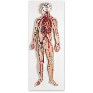 modelo anatômico de sistema circulatório