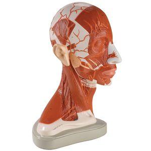 modelo de cabeça